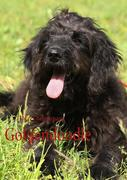 Theres Behnemann: Goldendoodle